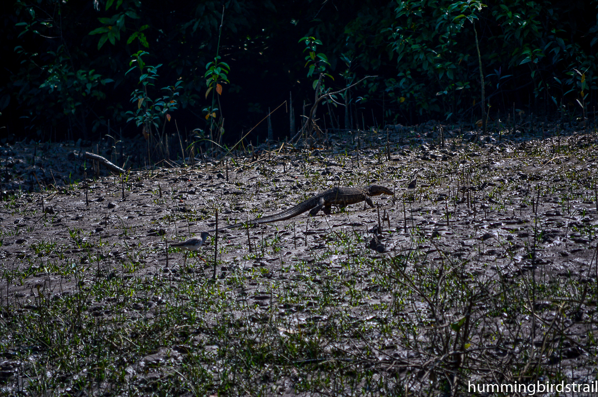 A water monitor lizard spoted