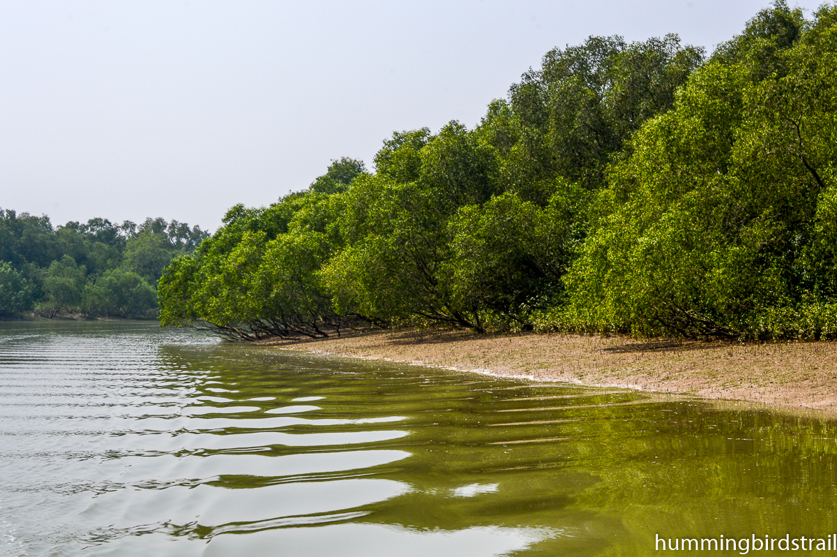 Mangroves on the bank
